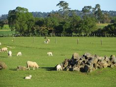 Lambs at Ambury Park Farm.  Auckland, New Zealand.