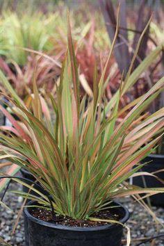 Plant Catalog - PHORMIUM JESTER (REDHEART)