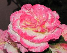 Photography  Beautiful Pink and White Rose with by pixieharmonyart, $12.95