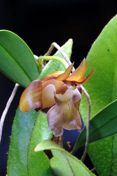Dendrobium brunneum Syn.: Epigeneium chapaense; Sarcopodium chapaense November 30, 2014