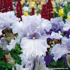 Lavishly ruffled, the Bearded Iris Silverado produces silvery-lavender, long-lasting blooms. Once matured, Silverado has tall, sturdy stems that each produce 8-9 buds. Silverado is easy to combine with most color themes, loves full sun, and is both deer resistant and winter hardy. (Iris germanica)