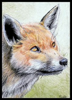 This drawing was inspired by a gorgeous portrait photograph by John Morris, who can be found here on Flickr- His photographs from the British wildlife centre are stunning.