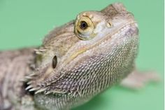 How to Play With a Baby Bearded Dragon | eHow