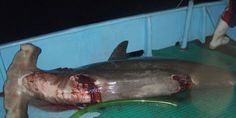 Previously protected Hammerhead shark species are now being slaughtered for the international trade of their fins (74891 signatures on petition)
