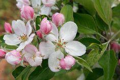 Картинки по запросу ветка яблоня в цвету