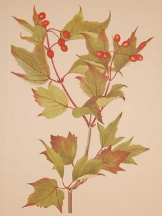 Vintage botanical print from 1925 by Mary Vaux Walcott titled Cranberry Bush. Walcott did the drawings for these prints whilst traveling across North America and they where subsequently produced in 1925 as prints by the Smithsonian in a work on North American Wildflowers. Bush Drawing, Vintage Botanical Prints, Wildflowers, Prints For Sale, North America, Plant Leaves, Traveling, Mary, Illustrations