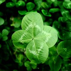 Browse four leaf clover pictures, photos, images, GIFs, and videos on Photobucket