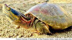 Scuto vertebrale carapace tartaruga d 39 acqua dolce for Tartarughiera per tartarughe grandi
