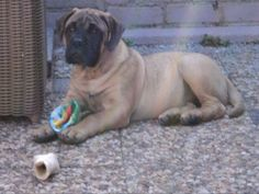Bullstock's N Massivebull Mitch as a pup, could be Connor!!