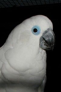 Blue­-Eyed Cockatoo-
