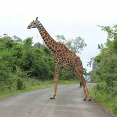 Nairobi, Giraffe, Animals, Felt Giraffe, Animales, Animaux, Giraffes, Animal, Animais