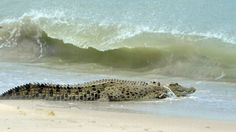 It took 400 kilometres and just under a month for a Queensland research team to realise that relocating far north Queensland problem crocodiles wasn't ever going to be an option. #auspol