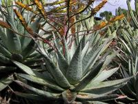 Aloe marlothii ssp.  marlothii