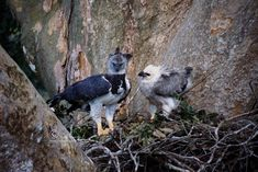Harpy Eagle with its Chick.