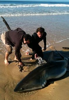 Bold Beachgoers Save a Stranded Great White Shark : TreeHugger