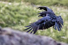 Fotografia Odin& raven Hugin de Gunnar Gestur na Raven Wings, Raven Bird, Raven Photography, Animal Photography, Raven Pictures, Dark Wings, Crow Art, Crows Ravens, Funny Birds