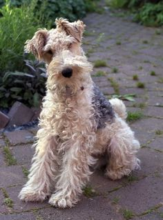 -Saw a movie with a wire fox terrier in it and fell in love with the dog-