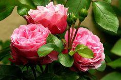 Zázrak proti celulitidě roste nejspíš i na vaší zahrádce   Naše zahrada Wonderful Flowers, Beautiful Roses, Epsom Salt For Roses, Rose Bush Care, Rose Images, Growing Roses, Ferrat, Blooming Rose, Rose Oil