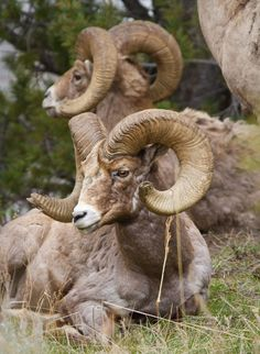 Bighorn sheep take a rest in Yellowstone National Park. (Jean-Edouard Rozey/ Shutterstock)