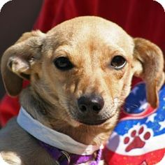 Croissant, Dachshund/Chihuahua Mix at ARF. A chiweenie, just like I have! ARF seems to get many dogs of this mix, so if anyone wants to adopt a chiweenie, ARF in Walnut Creek, CA  is a good place to look!