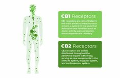 The Endocannabinoid System Explained ― CBD Origin