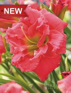 Congo Coral Daylily - for fall planting