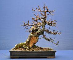 Root Over Rock Cotoneaster in 2013: Winter