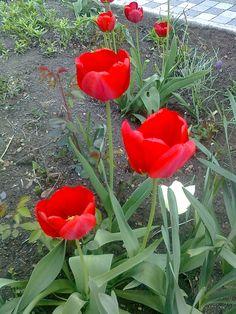 Rudé tulipány