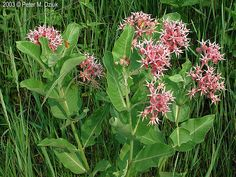 Showy Milkweed - Asclepias Speciosa | perennial Z3; to 6 ft; full or almost full sun