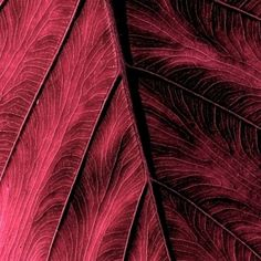 burgundy.quenalbertini: Bur- gundy leaf | by orion72