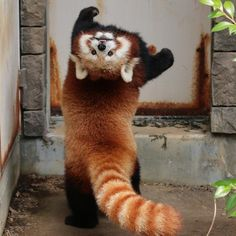 Celebrate Red Panda Day With a Collection Of Adorable PhotosYou can find Red pandas and more on our website.Celebrate Red Panda Day With a Collection Of Adorable Photos Cute Little Animals, Cute Funny Animals, Fluffy Animals, Animals And Pets, Smiling Animals, Exotic Animals, Exotic Pets, Wild Animals, Red Panda Cute