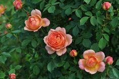 'Lady of Shalott' rose, click to enlarge
