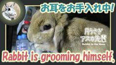 お耳をお手入れ中!【ウサギのだいだい 】 Rabbit is grooming himself. 2016年4月7日