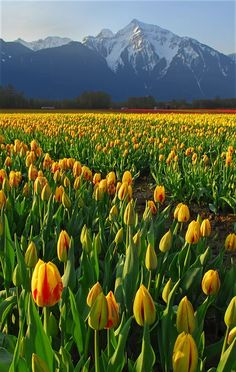 ⊱╮ I love tulips! Fraser Valley of British Columbia, Canada: Beautiful Flowers, Beautiful Places, Beautiful Pictures, Nature Pictures, British Columbia, Tulip Fields, Field Of Tulips, Oh The Places You'll Go, Beautiful Landscapes