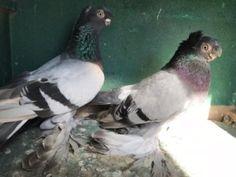 Голуби Pigeon, Birds, Animals, Animales, Animaux, Bird, Animal, Birdwatching, Animais
