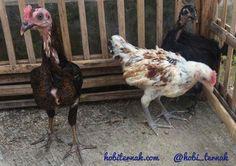Ayam ketawa 3 ekor usia 3 bulan pesanan Bapak Otot di Jakarta #ketawa #ayamhias #ternakunggas #ternakayam #ternakayamhias #ayam #backyardchicken #chicken #egg #roaster #hens #ayamketawa #jualayamketawa #hargaayamketawa #kandangayam #hargaayam #jualayam #hobby #hobi #ayamserama #fotoayamserama #jualayamserama #hargaayamserama #ternakunggas #ternakayam #ternakayamhias #ayam #pengiriman #jakartatimur #jakartapusat #muntilan #magelang http://ift.tt/2vUzMqi
