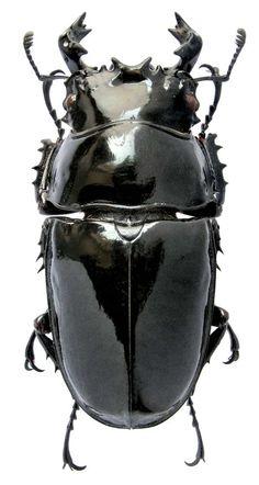 М.Э. Смирнов - фотографии экзотических рогачей (Lucanidae)
