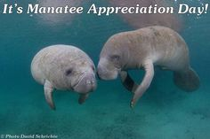 Show your appreciation for manatees today! Please sign a petition or send comments urging the U.S. Fish and Wildlife Service to postpone downlisting manatees until threats to the species and its habitat are controlled.  http://smc.convio.net/speakupformanatees.  Thank you! Please share!!