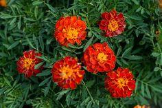 Marigold - safari red