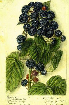 Hoosier Raspberry