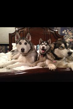 #Siberian #Husky Pack. I think they lost their bed permanently to their huskies!!!