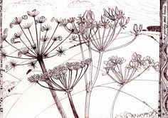 cow parsley seed heads - Google Search