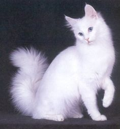 57 Best Turkish Angoras Mine And Others Images Angora Cats