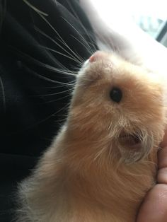 My little nugget is called Bean #aww #Cutehamsters #hamster #hamstersofpinterest #boopthesnoot #cuddle #fluffy #animals #aww #socute #derp #cute #bestfriend #itssofluffy #rodents