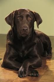 Chocolate lab - the most loyal and playful dog i know. I miss my HERSHEY GIRL SO much! :'(
