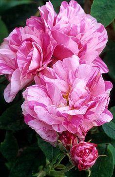 Rosa gallica 'Versicolor' Fotografia de John Glover, uno de los primeros y de los mas importantes fotografos de jardin del Reino Unido