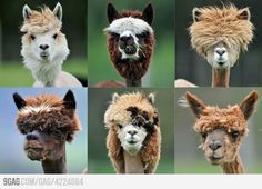 I dont know what makes me happier about this. The haircuts themselves, or the fact that the llama owners wanted their llamas to look cool.