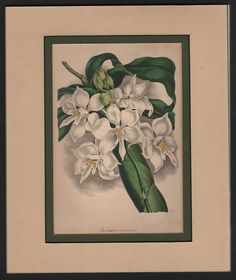 Two-Horned Epidendrum Orchid - Authentic DOUBLE MATTED 1838 Paxton  Print