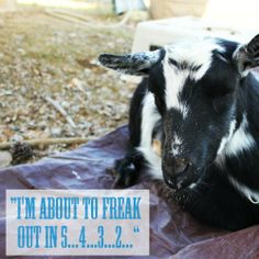 Weed 'em and Reap: The most HILARIOUS Goat Birth EVER