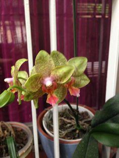 Orquídea verde, já é a segunda floração deste ano!